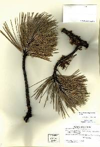 Image of Arceuthobium campylopodum