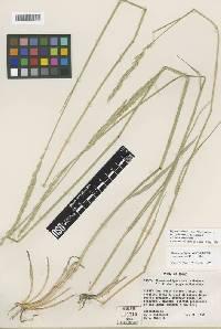 Elymus salina image