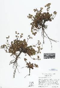 Image of Potentilla brevifolia