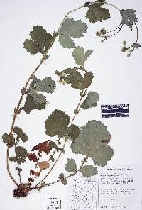 Image of Geum macrophyllum
