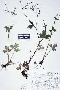 Image of Ranunculus uncinatus