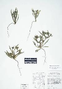 Image of Mentzelia dispersa