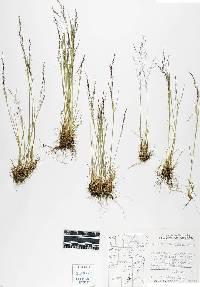 Image of Agrostis idahoensis