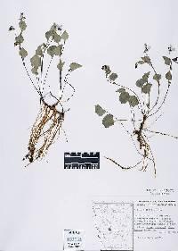 Image of Allium validum