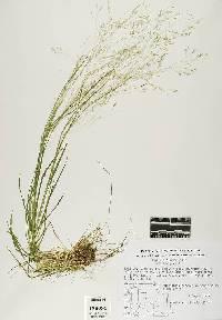 Image of Agrostis scabra
