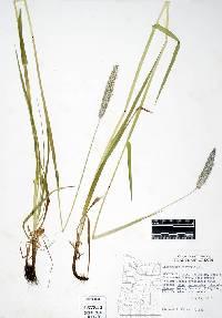 Image of Alopecurus pratensis