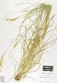 Image of Agrostis hallii