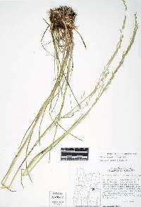 Image of Glyceria borealis