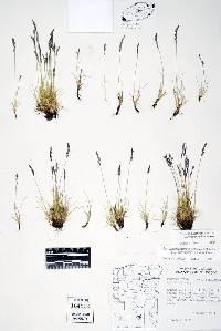 Image of Festuca brachyphylla