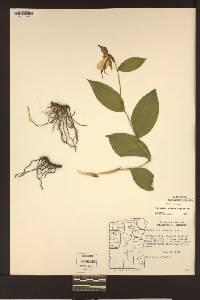 Cypripedium montanum image