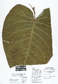 Fallopia sachalinensis image