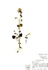 Image of Erythranthe microphylla
