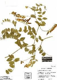 Lathyrus sulphureus image