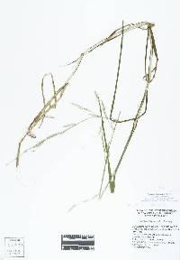 Image of Glyceria fluitans