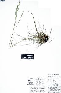 Image of Festuca occidentalis