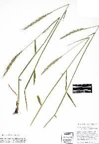 Image of Elymus × hansenii