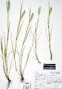 Image of Alopecurus geniculatus