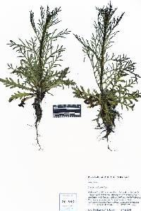 Crupina vulgaris image