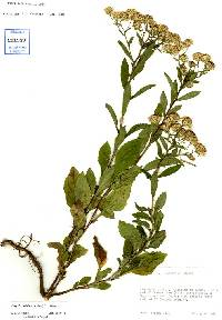 Image of Eurybia radulina
