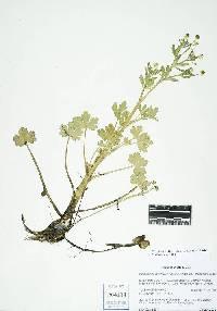 Ranunculus sceleratus var. sceleratus image