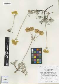 Eriogonum umbellatum var. canifolium image