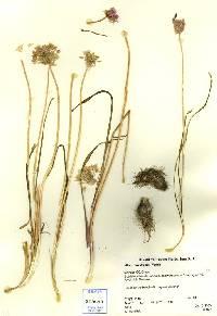 Image of Allium bisceptrum