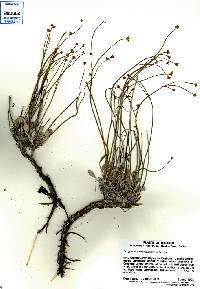 Image of Eriogonum ochrocephalum