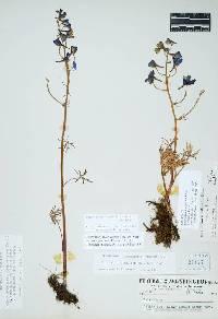 Image of Delphinium nuttallianum