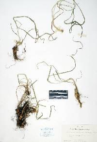 Image of Arrhenatherum elatius