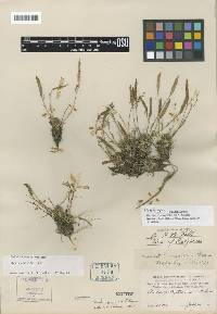 Image of Boechera pygmaea