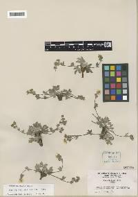 Image of Potentilla beanii