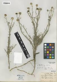 Image of Erigeron filifolius