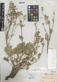Image of Potentilla bruceae