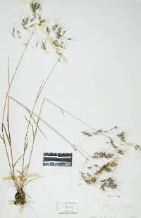 Image of Bromus tectorum