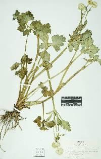Image of Ranunculus repens