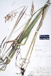 Image of Bromus ciliatus