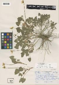 Image of Viola pedunculata
