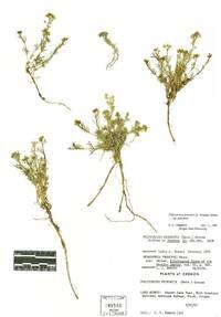 Polyctenium fremontii image