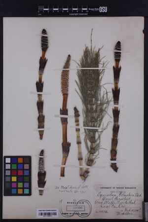 Equisetum telmateia image
