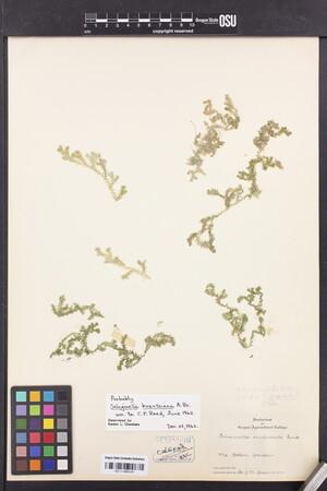 Selaginella kraussiana image