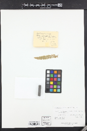 Polystichum kruckebergii image