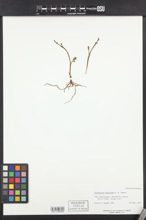 Botrychium montanum image