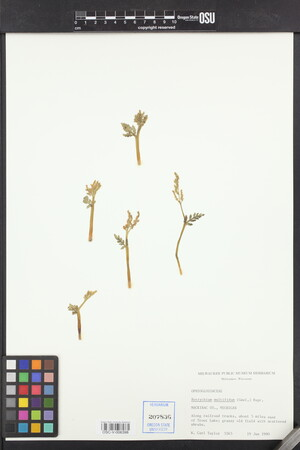 Sceptridium multifidum image