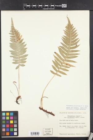 Polypodium glycyrrhiza image