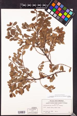 Image of Arctostaphylos uva-ursi