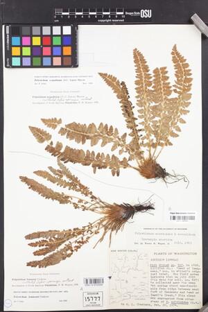 Polystichum lemmonii image