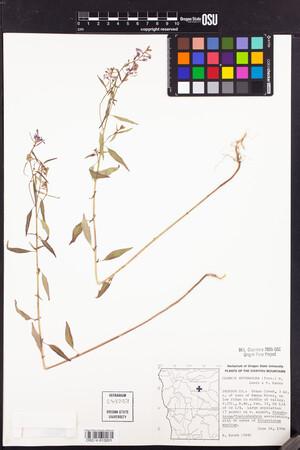Image of Clarkia heterandra