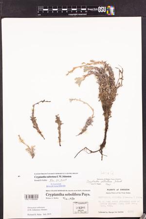 Image of Cryptantha subretusa