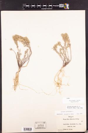 Alyssum alyssoides image
