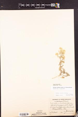Rorippa columbiae image